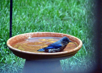 bluebird finding the bath