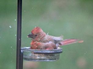 baby cardinal bath